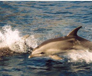 10_SAERI_Bottlenose dolphin, St Helena credit Emma Bennett