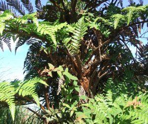 10_SAERI_endemic tree fern St Helena credit SAERI
