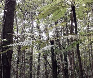5_UR_Anchor-project-3.4-Tree-ferns-in-Marelongue-nature-reserve-(D.-Strasberg)